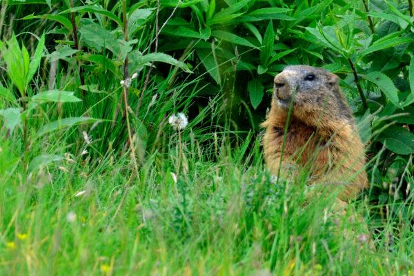 Marmotta Novegno