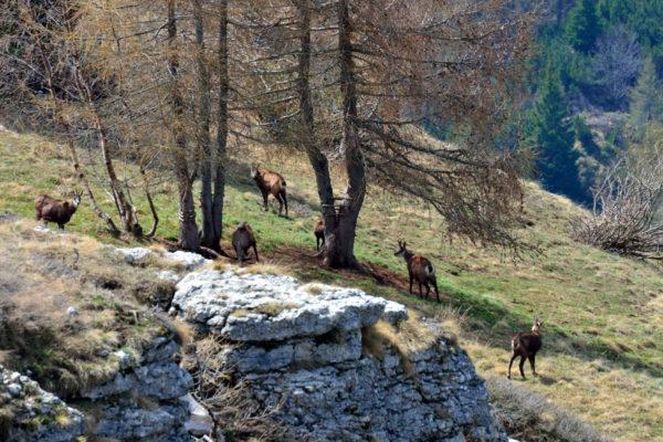 camosci sull'Alpe Alba
