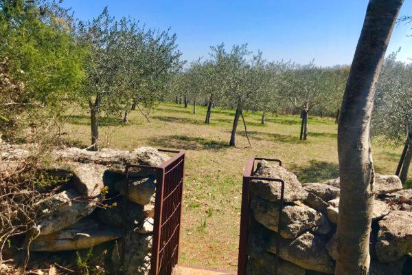 sentiero degli ulivi