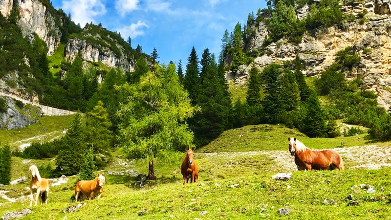 cavalli salendo a Monte Piana