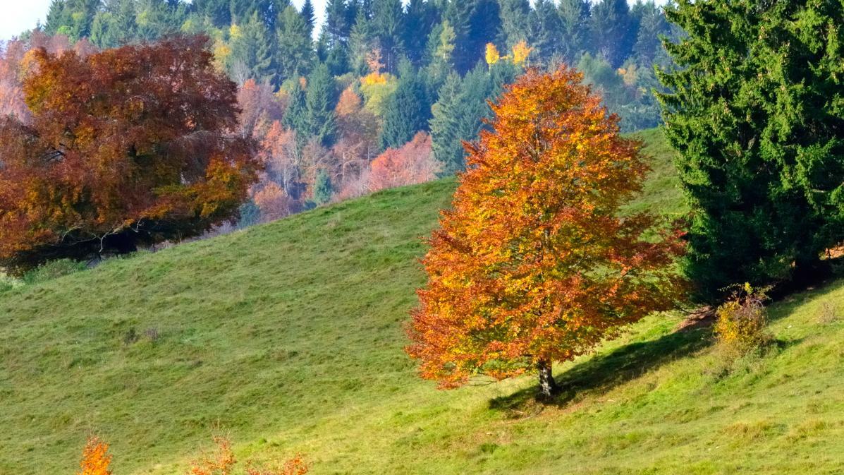 faggio autunno Valbella